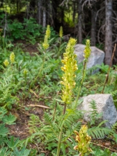 Pedicularis sp, maybe bracteosa?