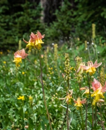 Aquilegia sp, maybe western columbine