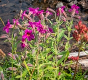 Pink monkeyflower