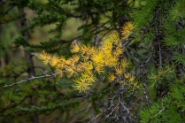 Larch madness season is coming