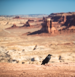 Raven at the Glen Canyon overlook