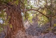 Douglas fir tree - three feet in diameter!