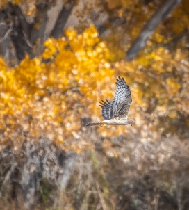 female Northern Harrier