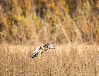Harriers hunt by hovering and pouncing on small mammals