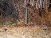 Two rooster pheasants near another blind
