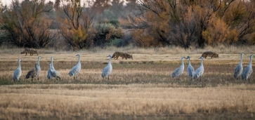 I wonder if these coyotes thought they were going to get a crane for dinner?