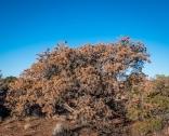 Dying pinyon pine