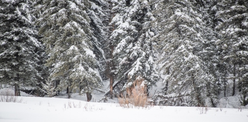 The carcass was down in a draw, out of sight in front of the evergreen trees