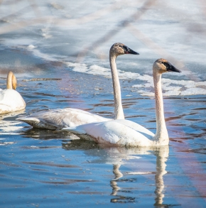 I think these are all Tundra Swans