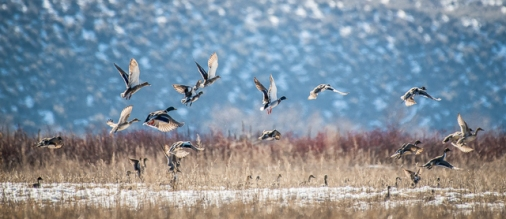Mixed flock of Mallards, Northern Pintails and maybe some American Wigeons too.