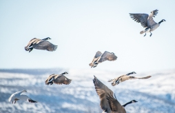 A lone Snow Goose with a group of Canada Geese