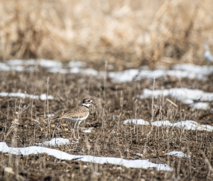 First Killdeer of the spring