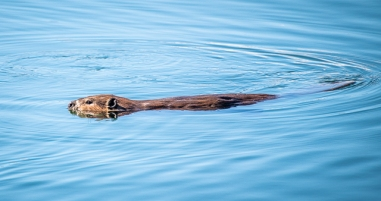 This beaver kept a close eye on us as we ate our lunch from the tailgate