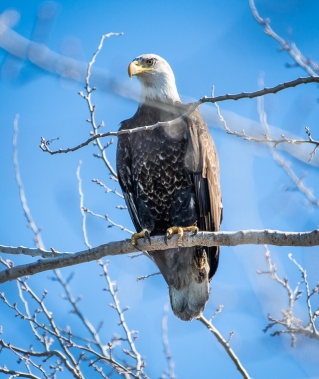 I never did get a clear view of this not quite grown up Bald Eagle