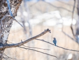 This male bluebird was trying really hard to impress a female with his choice of a nesting cavity