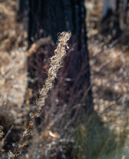 Last year's fireweed