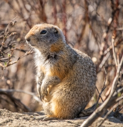 I think ground squirrels are some of the cutest little animals.