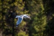 More Mew Gulls