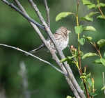 I think this is a Brewer's Sparrow. Even the little brown birds are interesting.