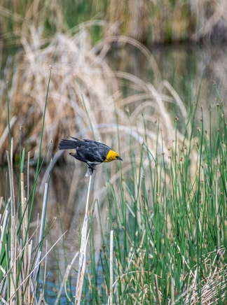 Yellow-headed Blackbird. Or as Ken would say, Black-bodied Yellowbird.