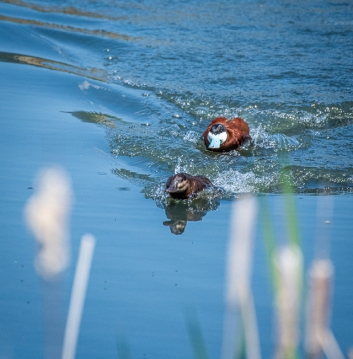 Ruddy Ducks have a very dramatic courtship display