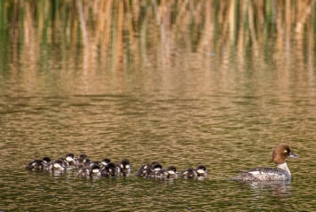 Common Goldeneye with babies