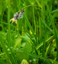 a sedge, Carex sp