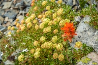 orange paintbrush and a buckwheat