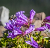 Penstemon and bumblebee