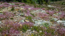 Lewisia columbiana carpeted the rocky hillsides