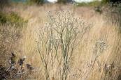 Tall buckwheat