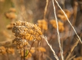 Dry yarrow and grass