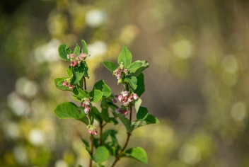 Snowberry has berries as well as flowers