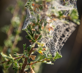 Bitterbrush with webs
