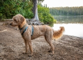 Lily, a rescue goldendoodle