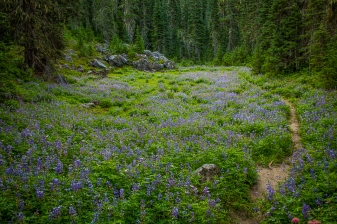 This small meadow of lupine was visible from the road