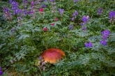 Lupine, paintbrush and a big bolete mushroom