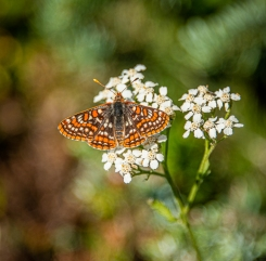 Butterfly on yarrow