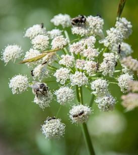 Lots of pollinators on this cow parsnip flower