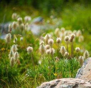 Anemone seedheads
