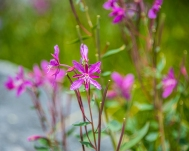 Red willowherb, similar to fireweed