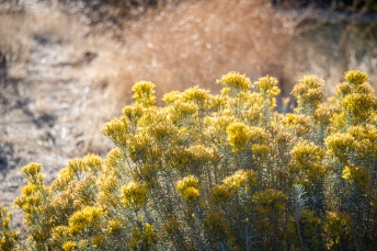 Rabbitbrush in full bloom