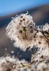 Wild clematis seedheads