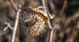 I don't know this interesting seedhead