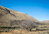 An old walnut tree. I wonder if someone homesteaded here?
