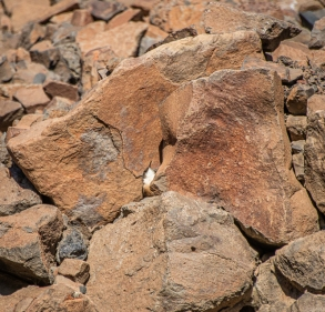 A Canyon Wren darted in and out of the rocks