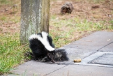 This skunk was in the campground and was either injured or sick. It could only drag its back legs and tail on the ground. The thing it is trying to eat is a giant slug.