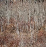 Aspens. New growth.