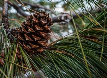 Ponderosa pine cone