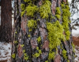 Wolf lichen on pine bark